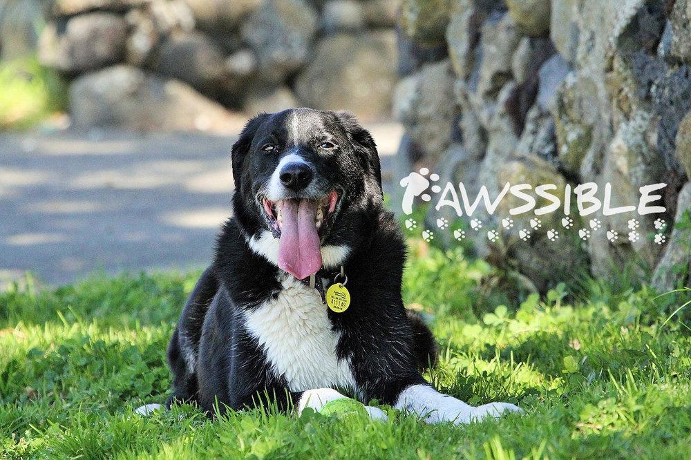 australian-sheepdog-1060366_1280_72dpi.jpg