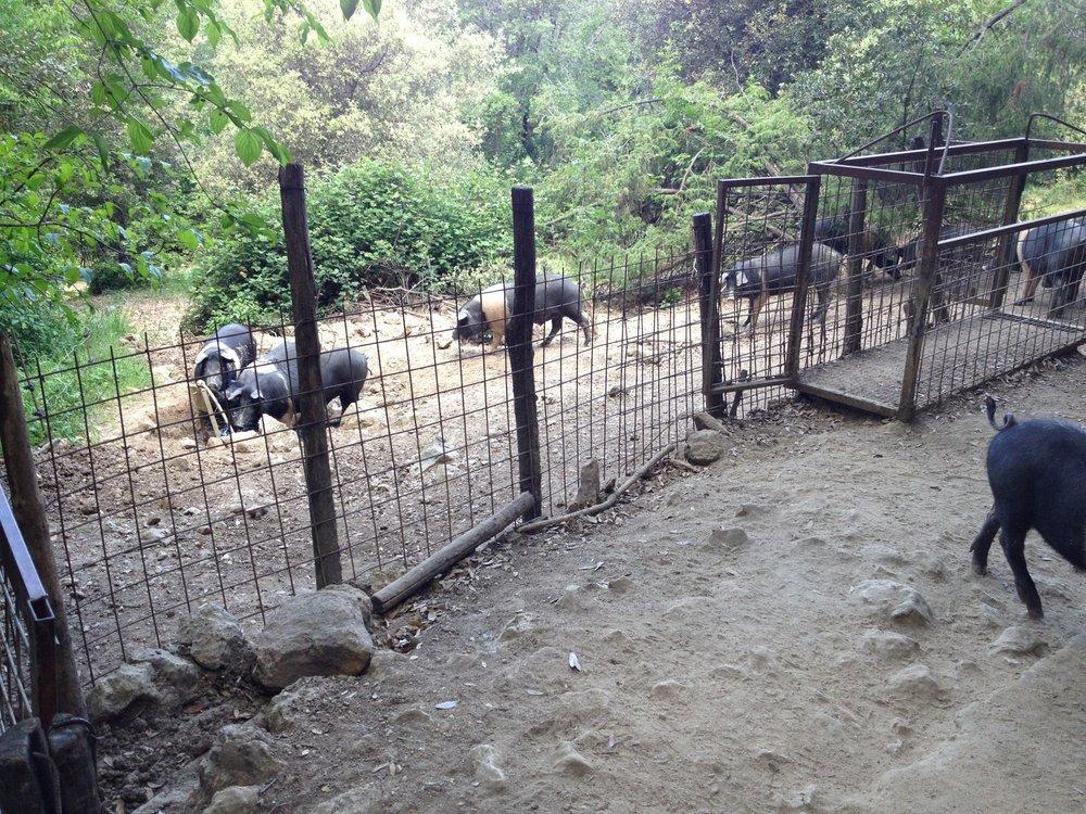 Forest pastured hogs at Spannocchia