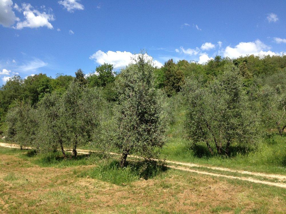 Olive trees at Spannocchia