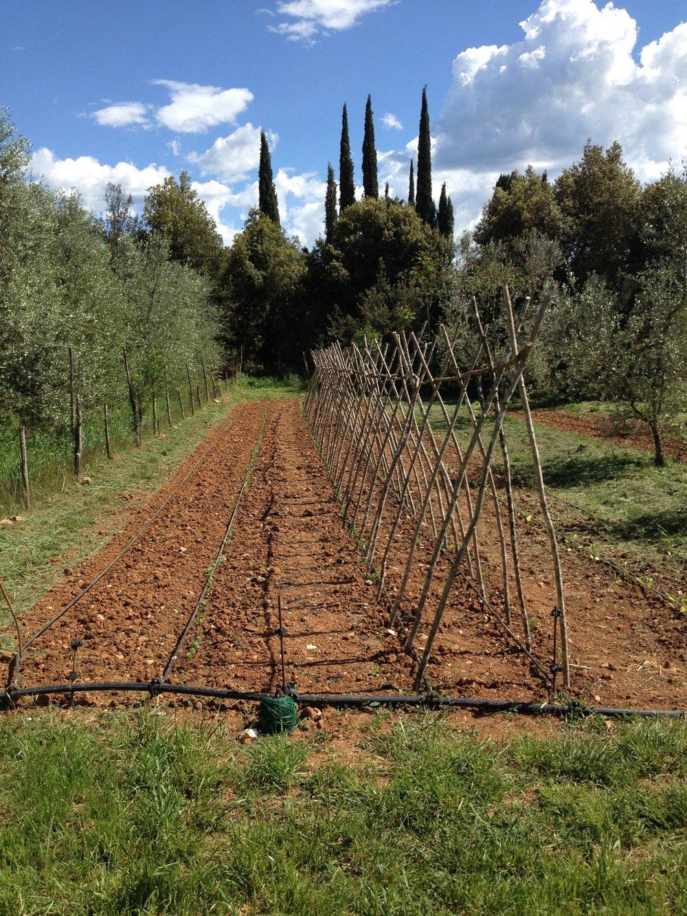 Bean and asparagus plots at Spannocchia