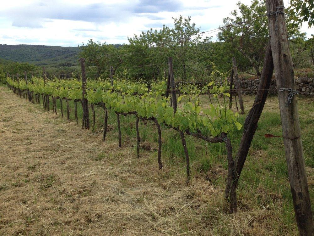 Vineyards of Spannocchia