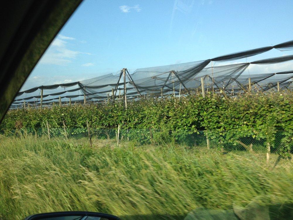 Fruit production north of Grado, Italy
