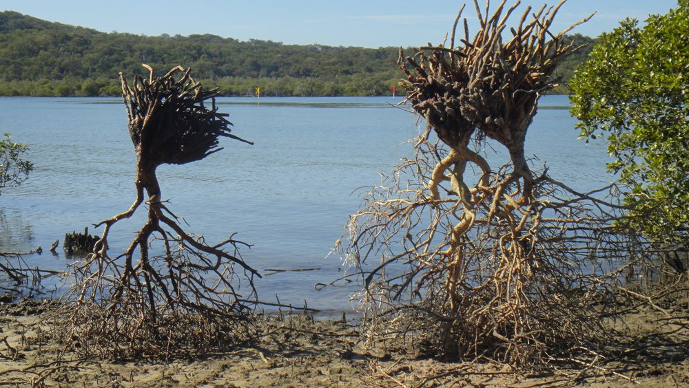 These small mangrove trees were broken away from the ground. Sometimes the conversation is difficult in the world. I don't know what to say, what shapes I should make. These trees expressed it well. Roots in the air, fragile heads taking the weight on the ground. They are runaway madwomen, notes broken from the stave, sense unhinged...