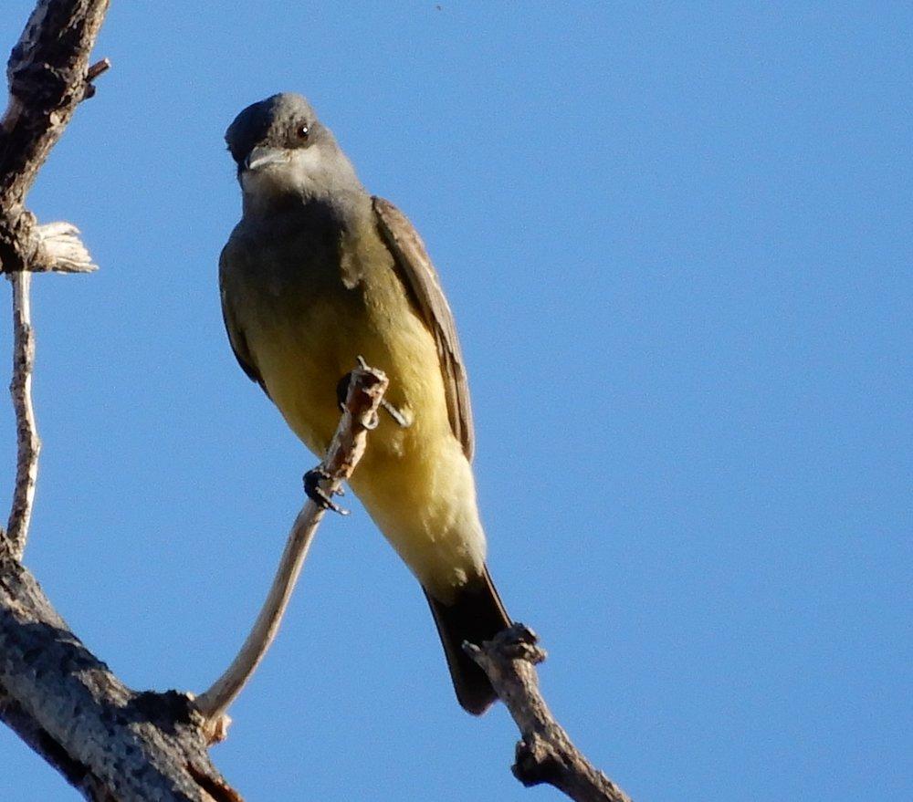 CassinsKingbird.jpg