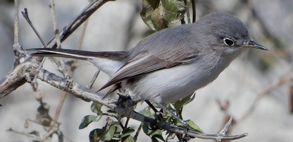 Blue-grayGnatcatcher.JPG