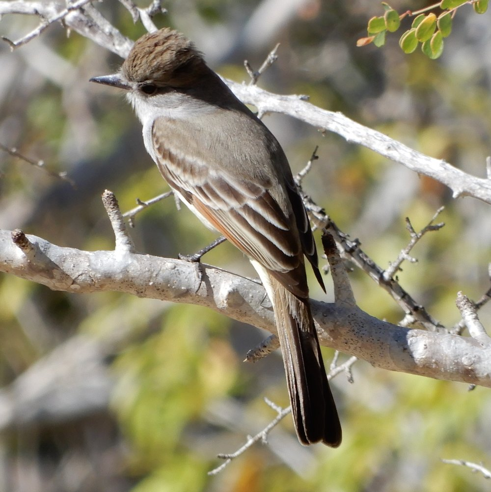 Ash-throatedFlycatcher.jpg
