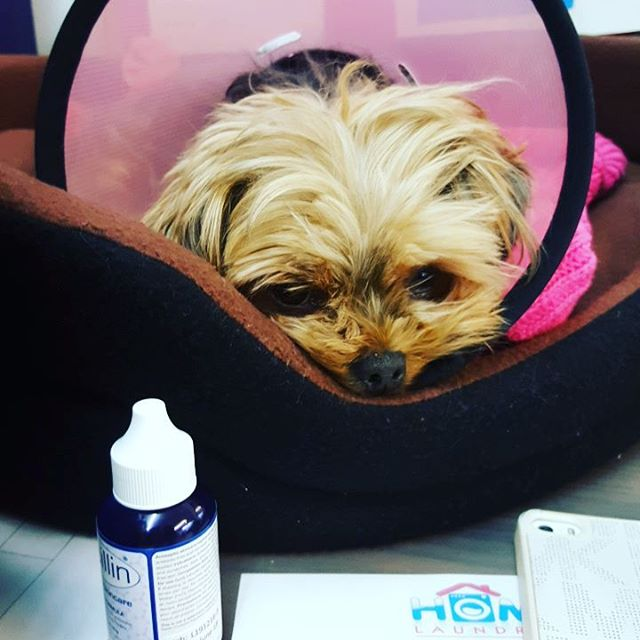 Our office security has a poorly leg 😯 hopefully she will feel better soon 💜 #yorkiesofinstagram #poorlypup #smallbusiness