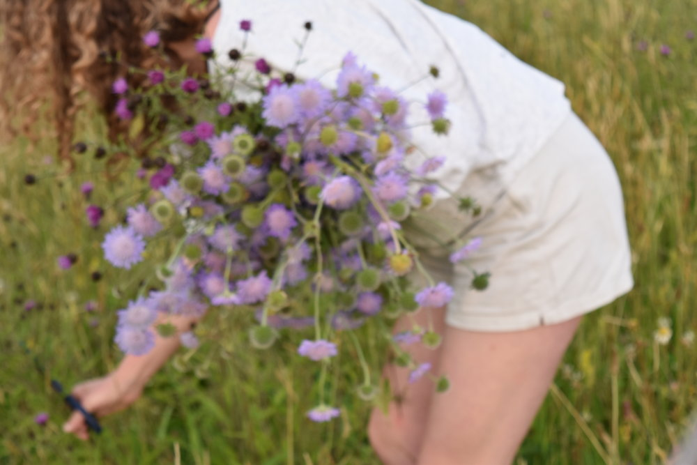 Tatterfly team picking scabious in the wildflower fields at High Ash Farm