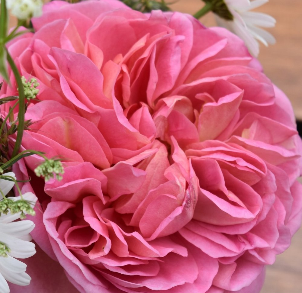 Roses (Boscalbel)