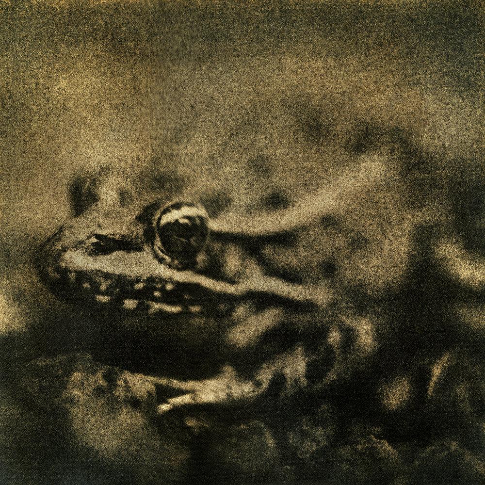 Leopard Frog, 2016