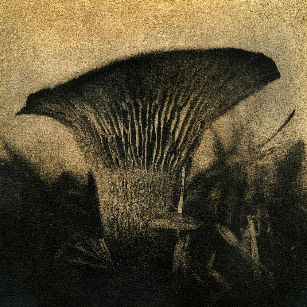 Jack-o-Lantern Mushroom, 2016