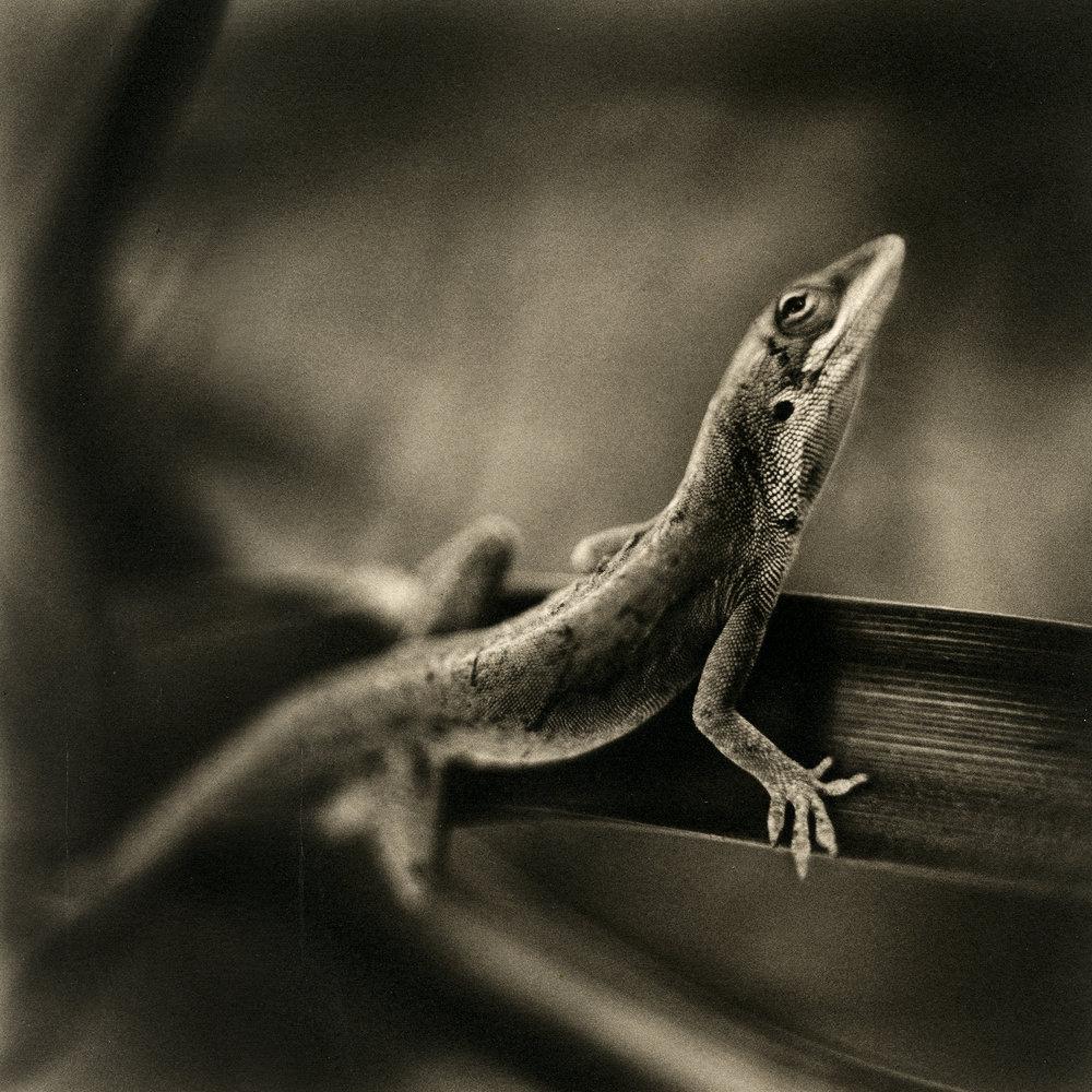 Anole Lizard, 2009