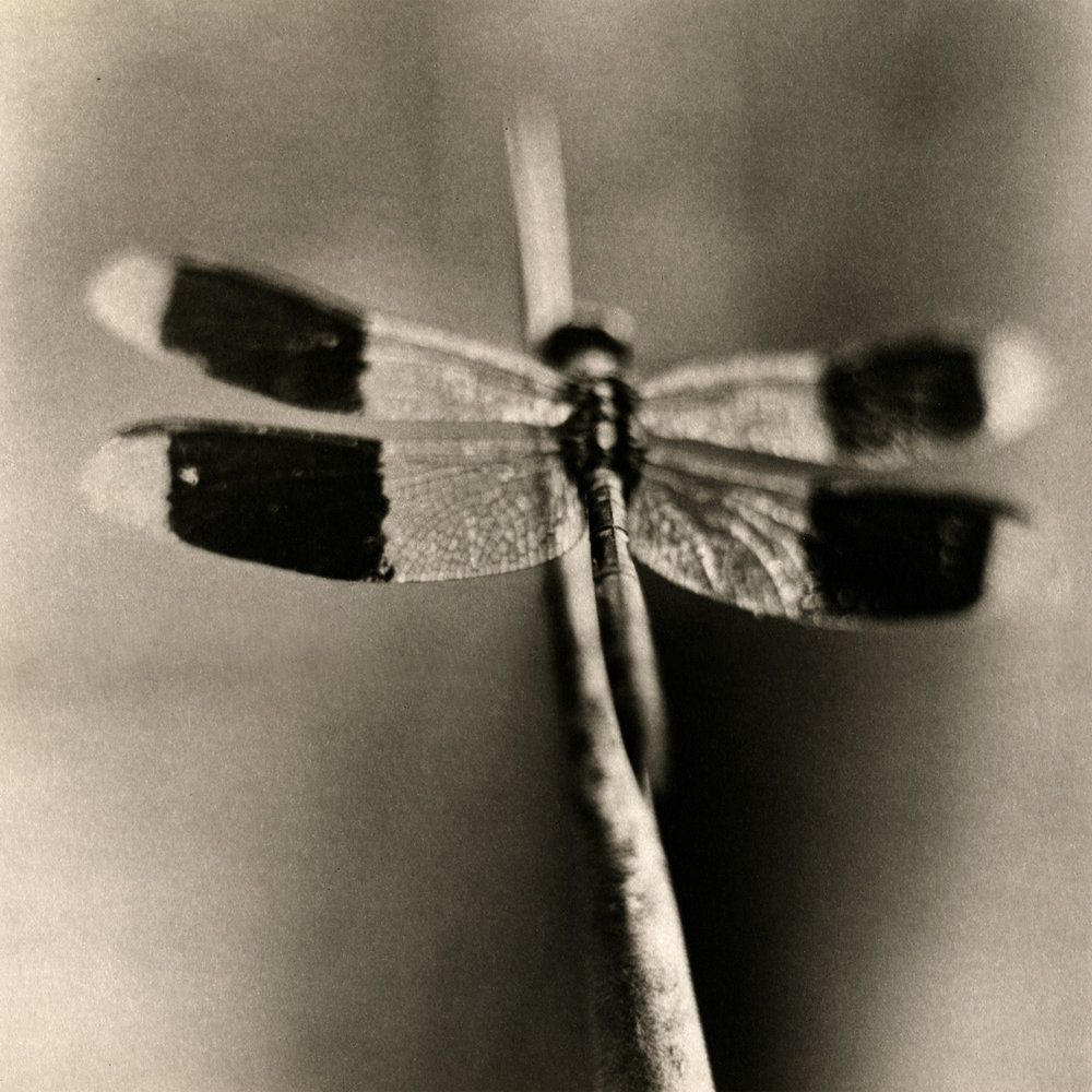 Dragonfly #4, 2004