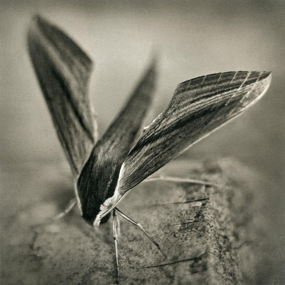 Sphinx Moth, 2016