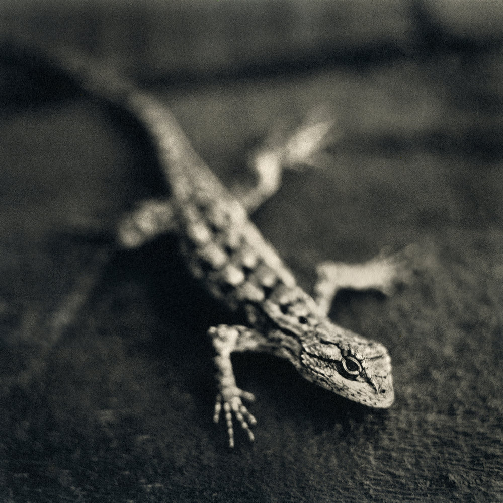 Spiney Lizard, 2015