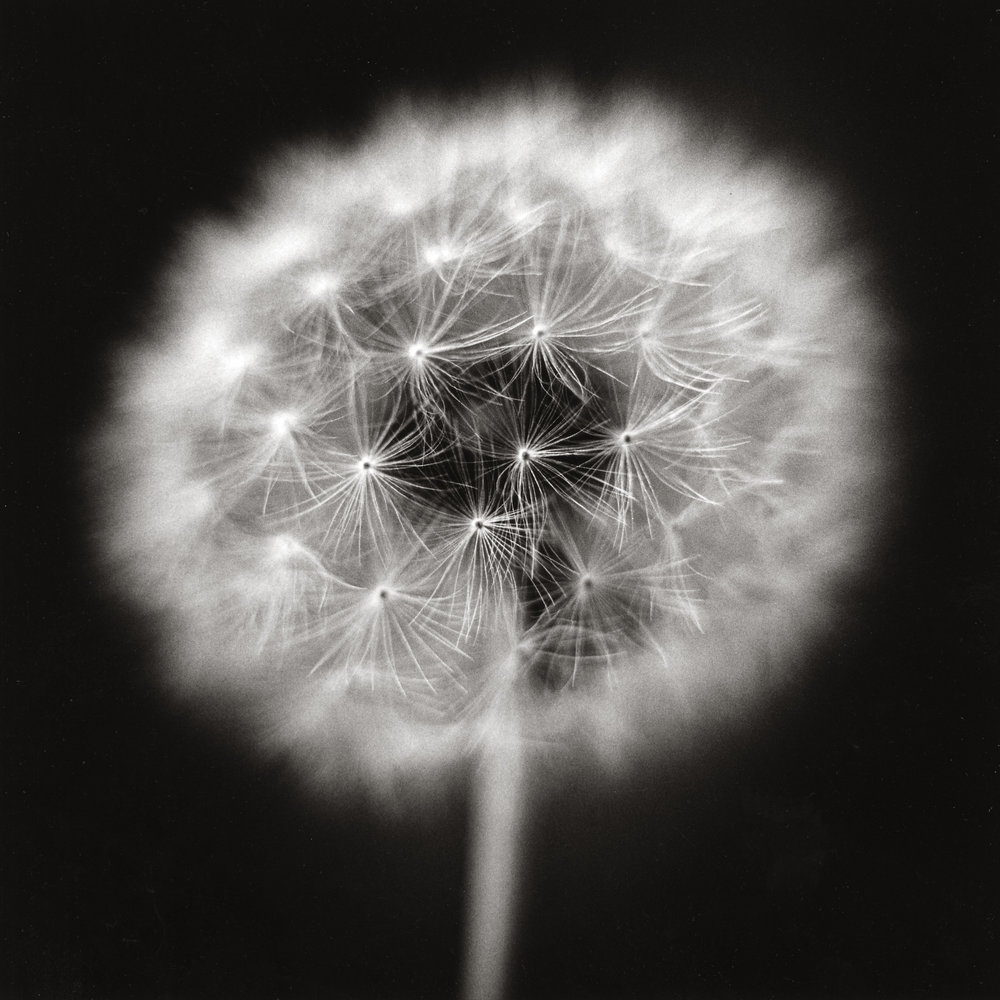 Dandelion 3, 2005