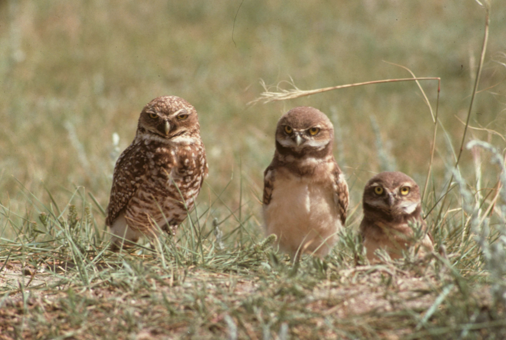 This photo of an adult burrowing owl with two fluffy chicks was taken forty years ago, not far from Saskatoon. I remember how exciting and hilarious it was to watch them bopping in and out of their nest hole.  Since then, however, the population of burrowing owls and most other grassland-dependent birds has suffered a calamitous fall, with several species plunging toward extinction. These days, you'd have to drive for hours to see a burrowing owl.  The main cause of the declines has been, and continues to be, the destruction of habitat by industry and urban sprawl. For instance, the pasture where this owl family once nested has been converted to cropland. These losses are happening before our very eyes, and they are intolerable.