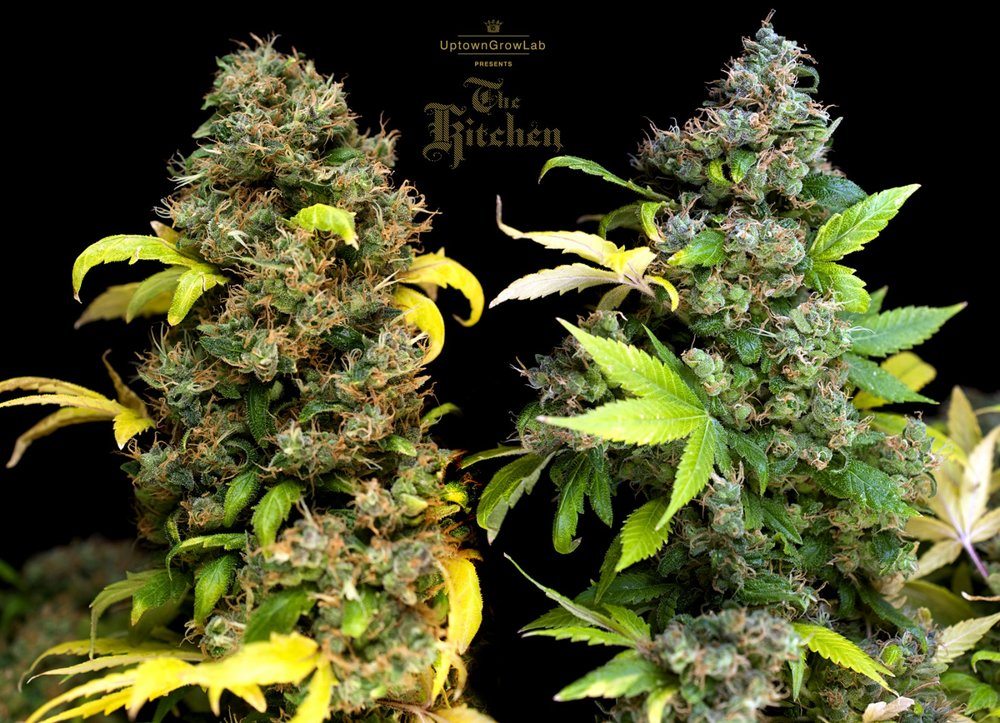 Serious Seeds' Bubble Gum