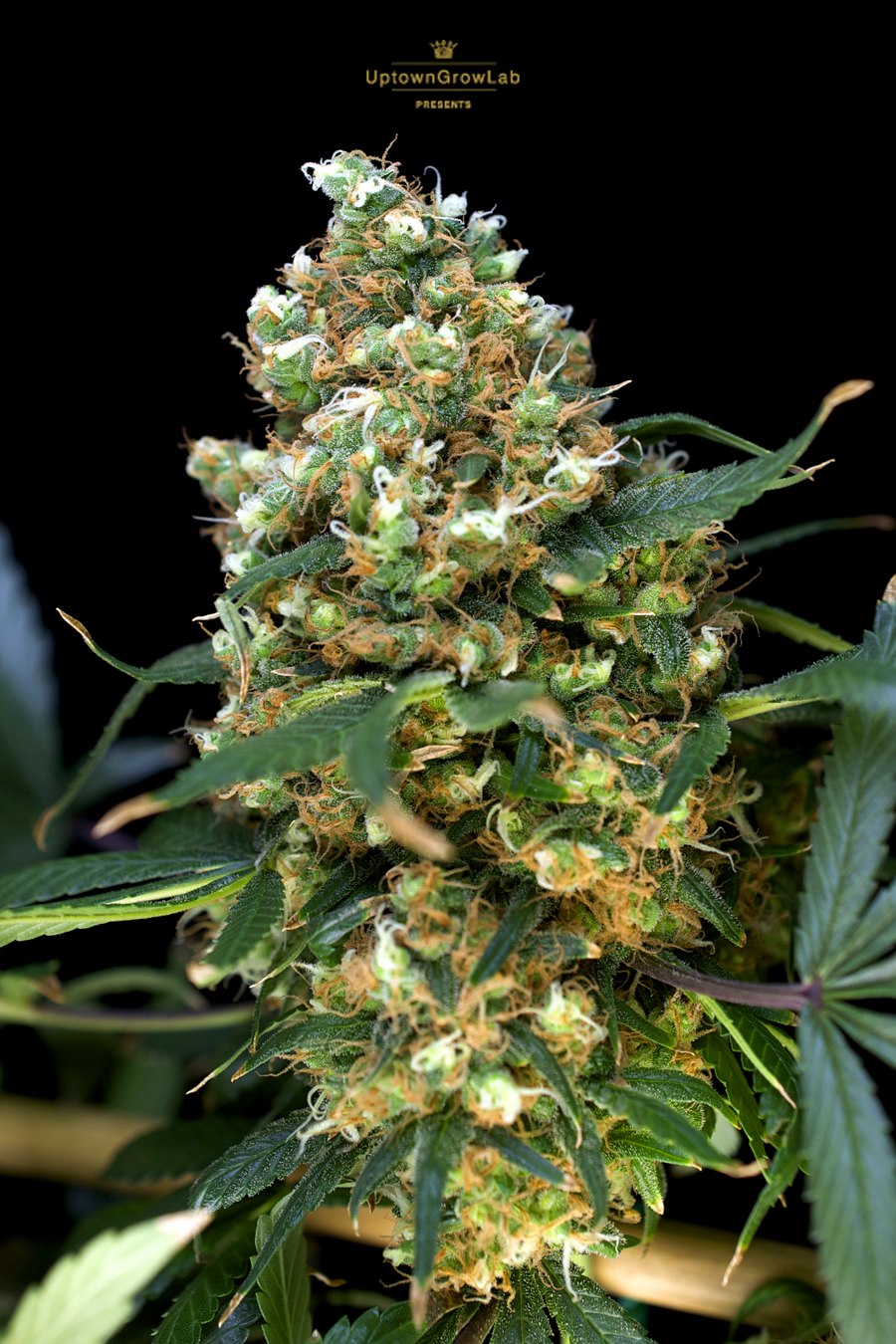 Serious Seeds' White Russian