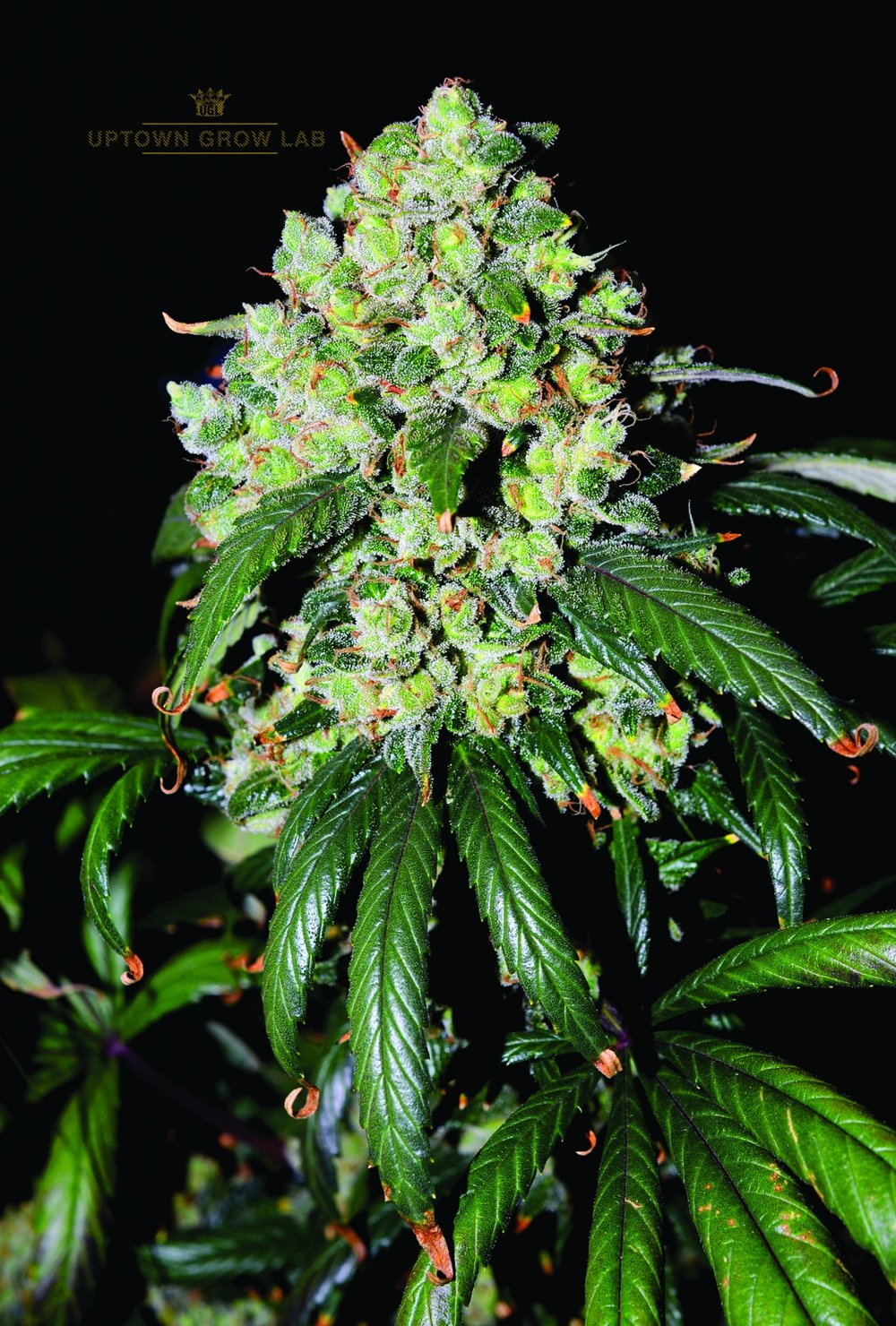 UPTOWN GROW LAB'S MONKEYBOY KUSH