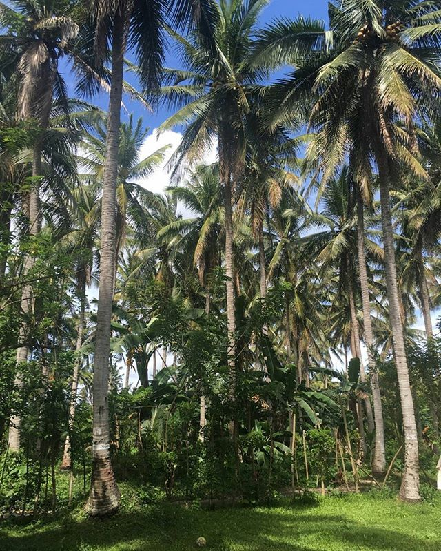Every drop of our coconut oil comes from this beautiful palm tree plantation in the Philippines 🌴🌞 The plantation works under fairtrade regulations and provides education and empowerment for local women 💪 . . . #natural #organic #vegan #crueltyfree #happy #healthy #skin #food #cosmetics #skincare #beauty #love #life #tuesday #palm #tree #palmtrees #philippines #asia #sun #coconut #travel #farm #work #women #local #power #educate #avocado #cado