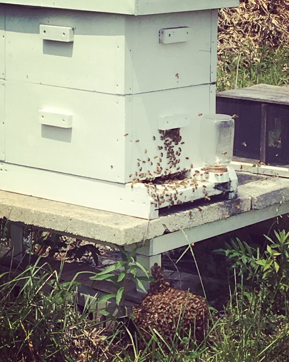 The second, smaller swarm formed under the original hive.