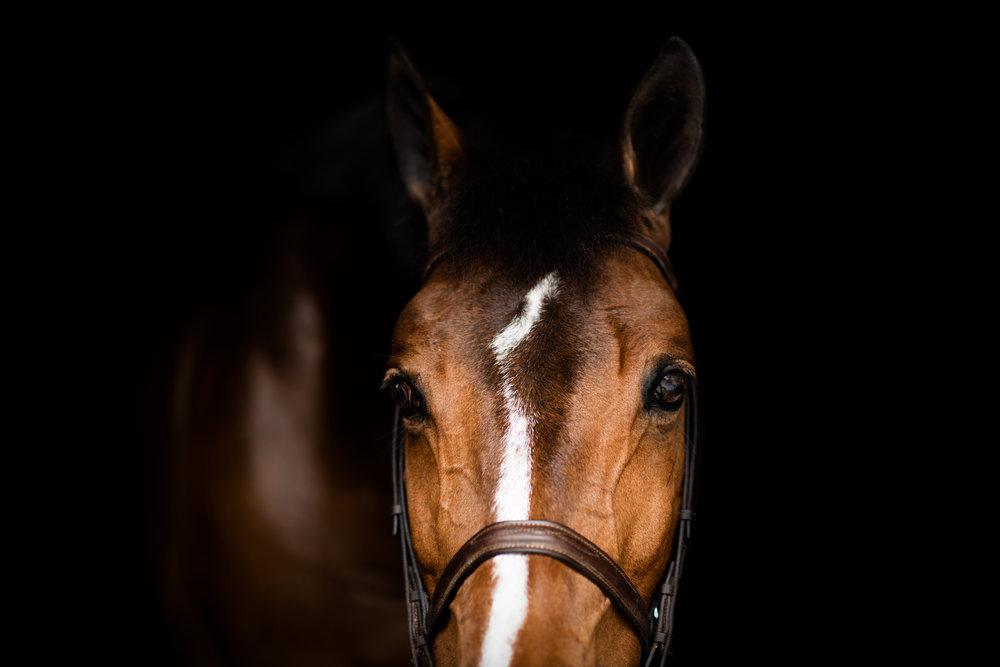 equine portraits -