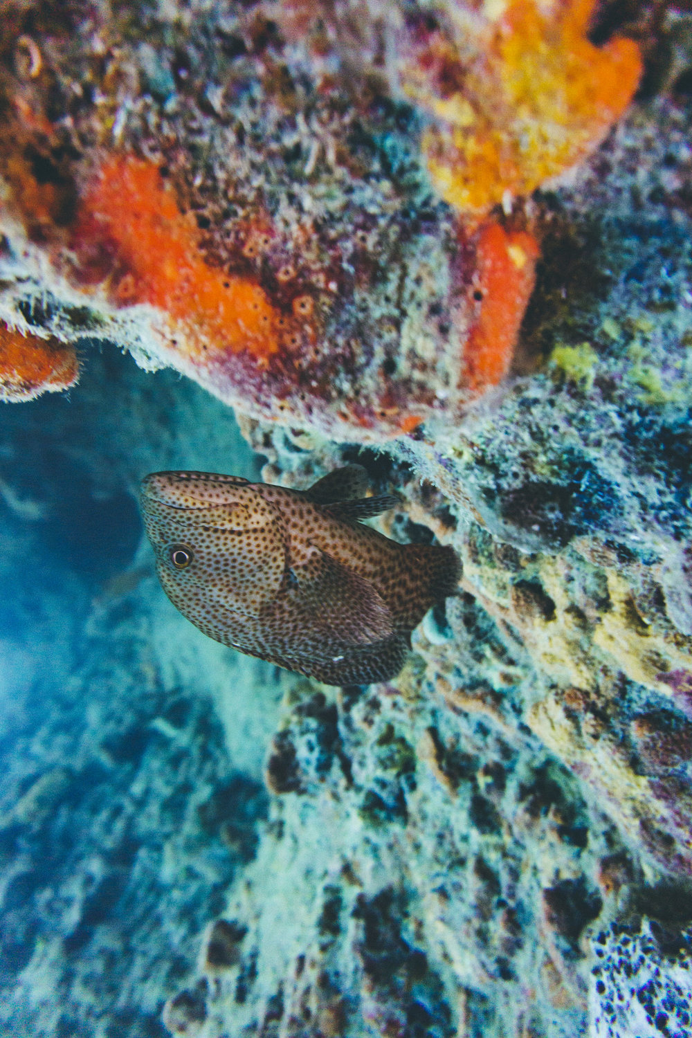 A grouper in Thunderball Grotto