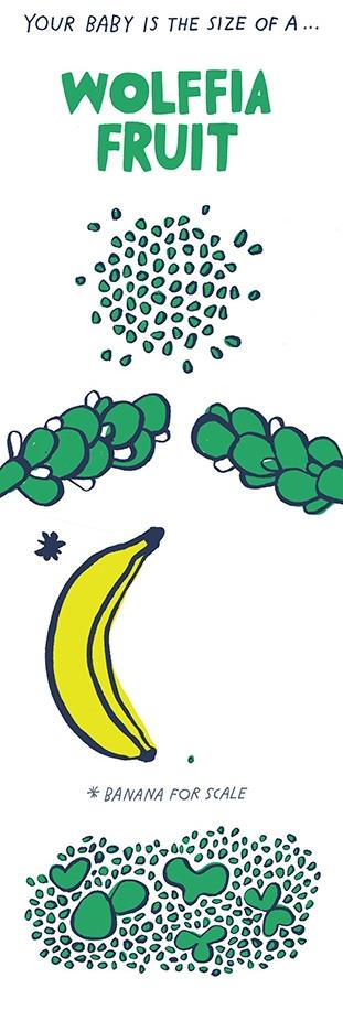 Wolffia_Fruit.jpg