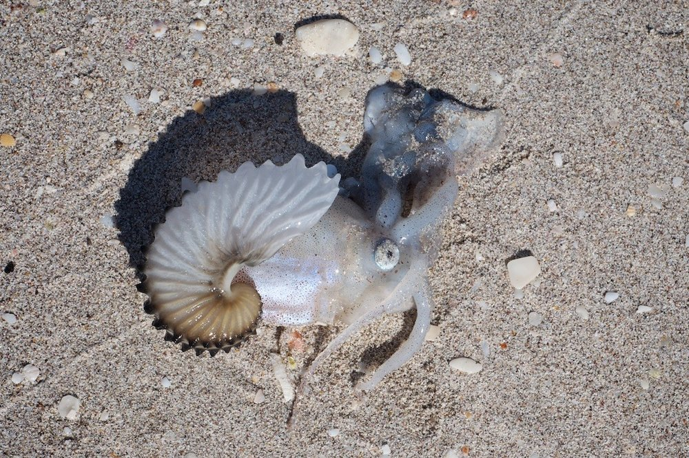 Paper nautilus on the beach.