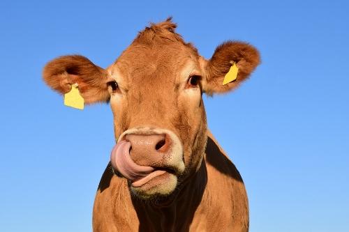 cow-1715829_960_720.jpg