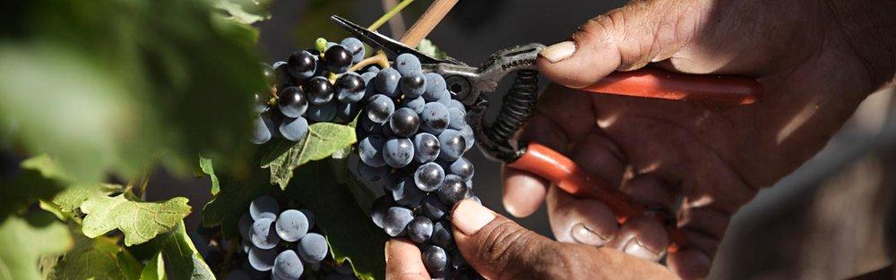 Grape Pruning .jpg