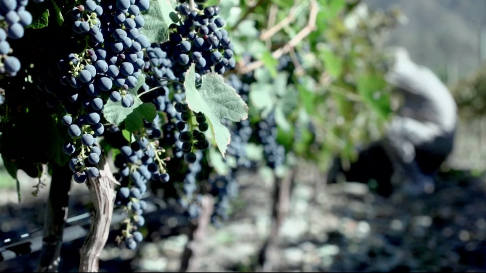 Miraluna grapes_movie screen shot low res.jpg