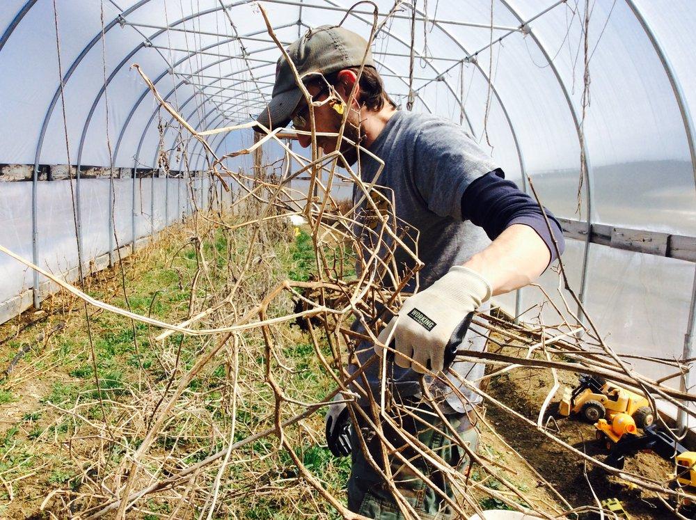Jason tangles with last season's tomato vines.