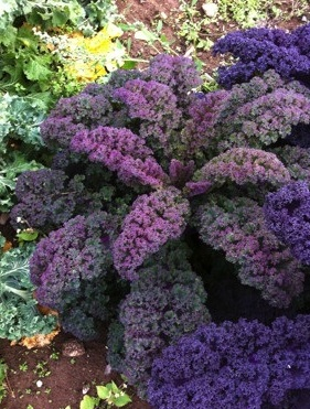 Baltisk Rod Purpurkal Curly Kale - what a beauty! We ordered this seed from Fedco Seeds, another favorite seed company.