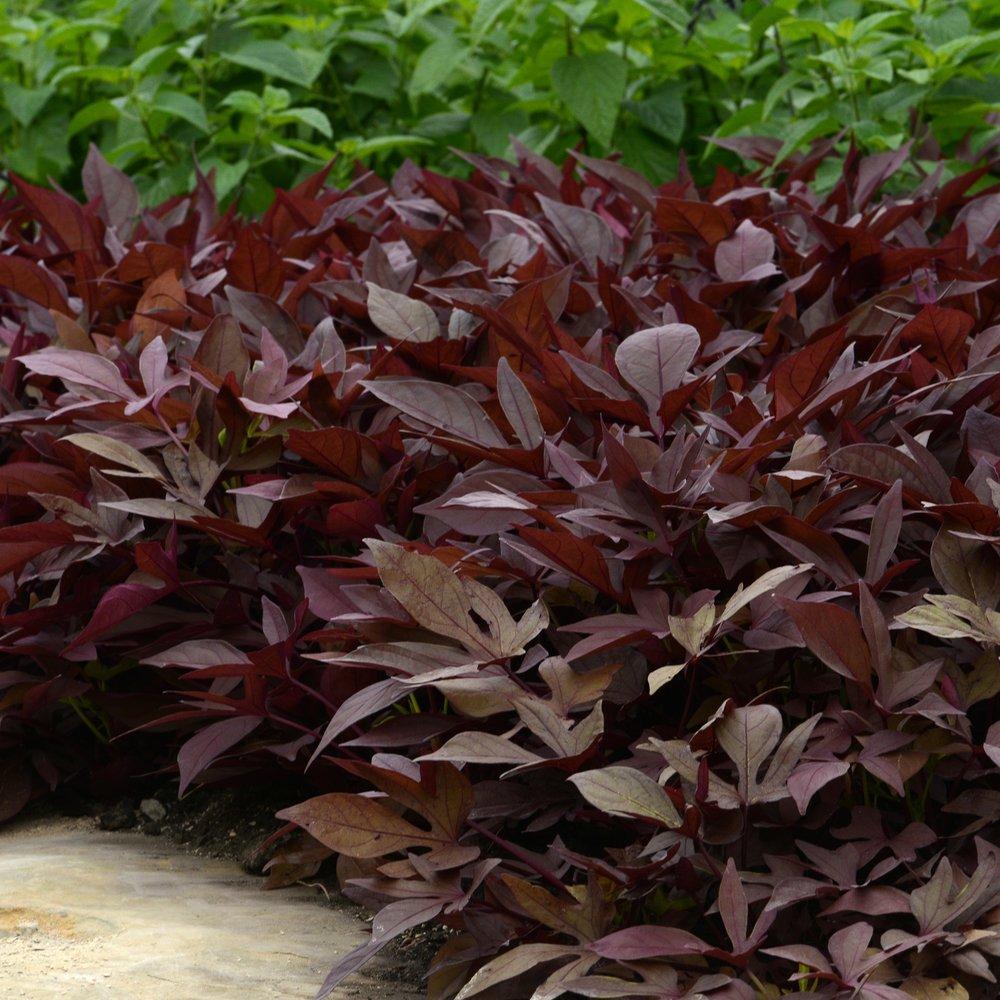 Impodium (Sweet Potato Vine) -
