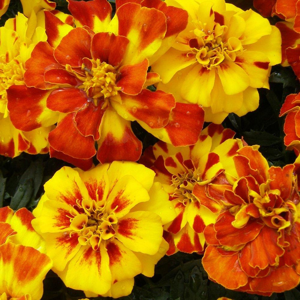 Marigold -