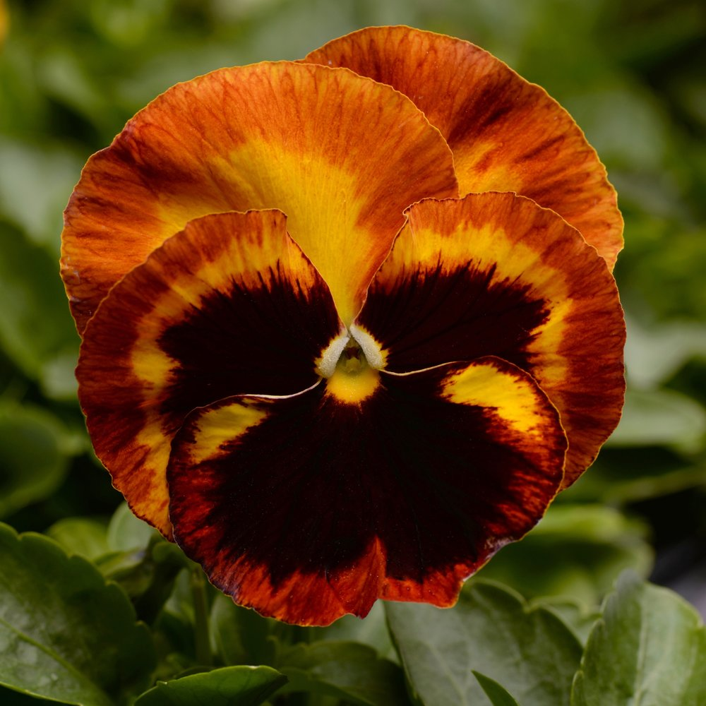 Pansy -
