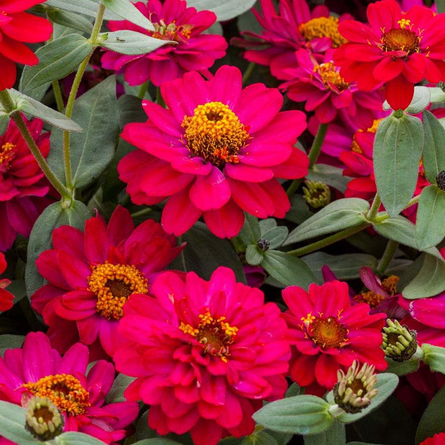 Zinnia - Varieties and Plant Details