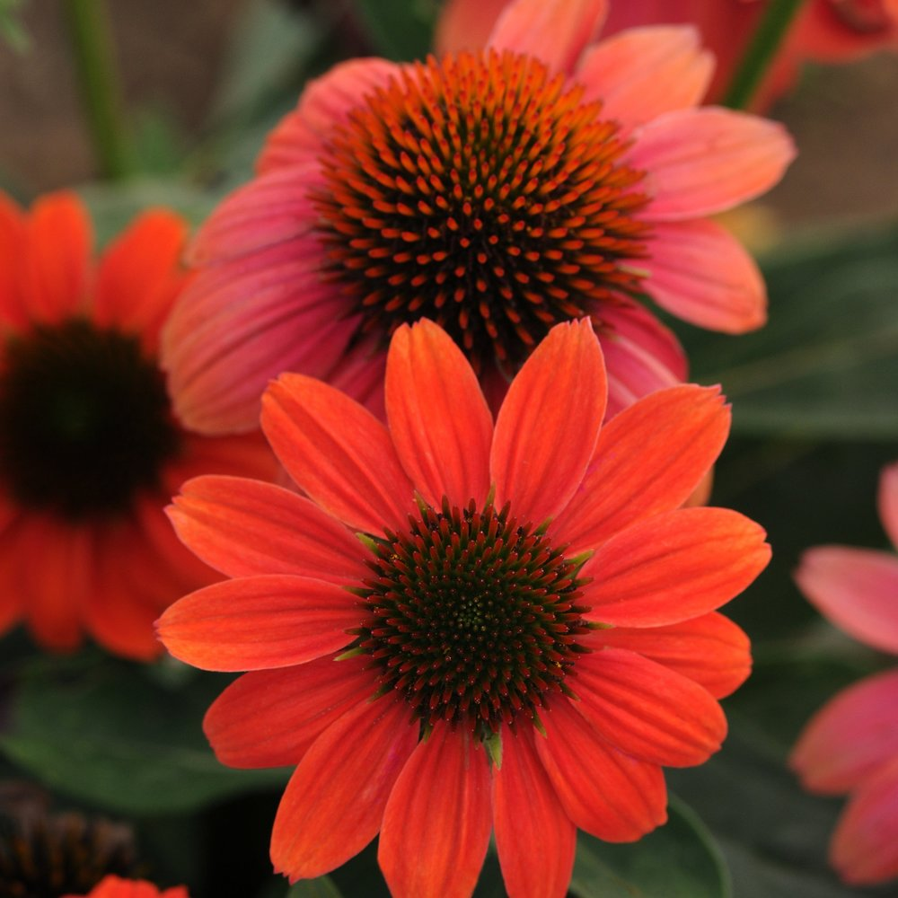 echinacea - (Cone Flower)