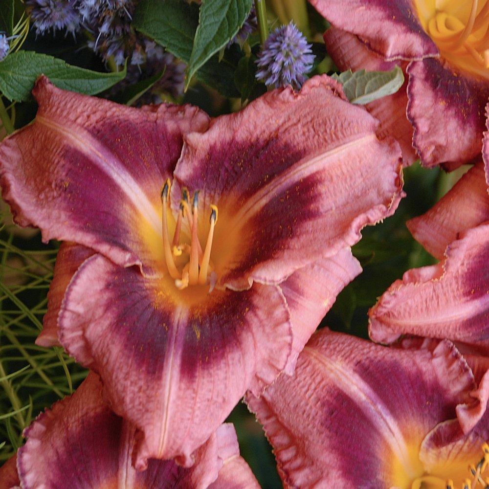hemerocal - (Day Lillies)