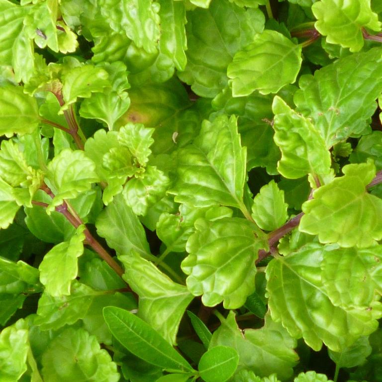 green swedish ivy -