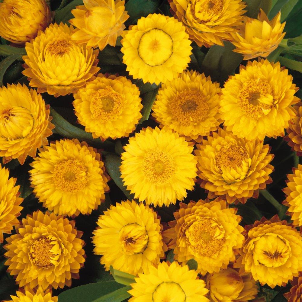 bracteanthus -