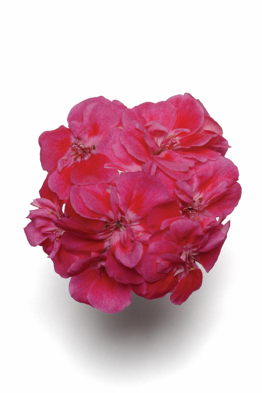 Rose Sizzle