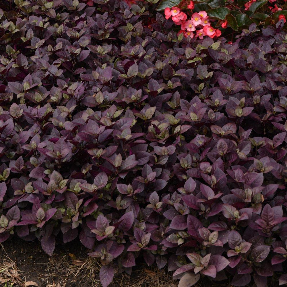 Purple Pince -