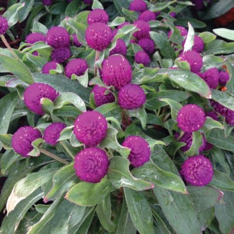 Gnome Purple -