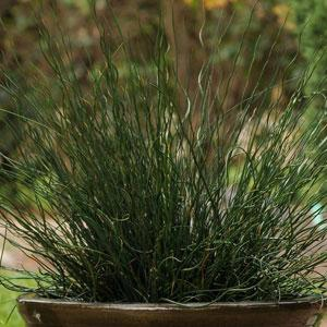 Juncus Fuseables Twisted Arrows -