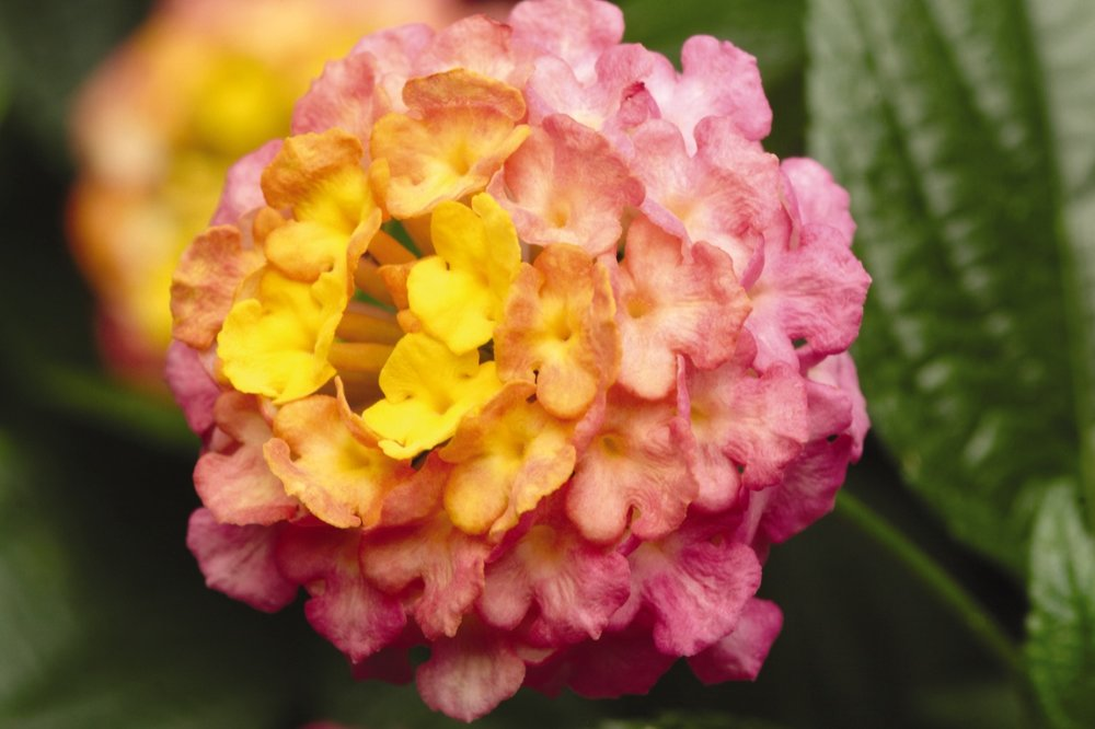 Sunrise rose -