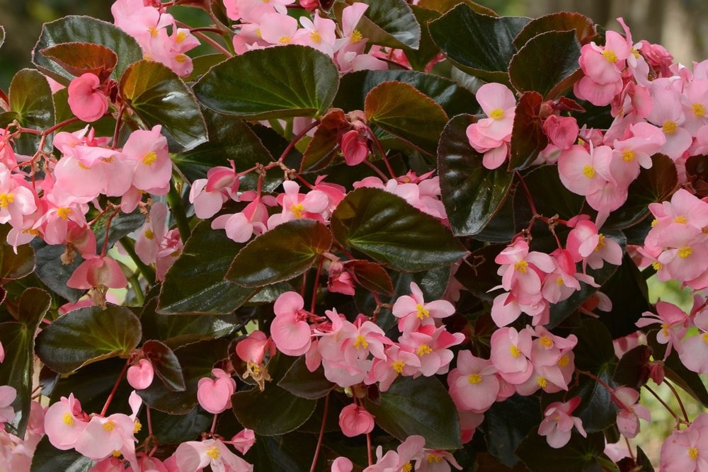 Pink w/Bronze Leaf -