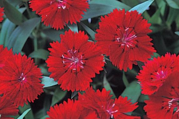 Crimson -